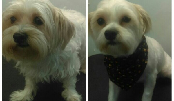 Bella Before and After Groom service Very Important Pet Care